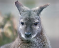 Portrait view of a red necked wallaby macropus rufogriseus Royalty Free Stock Photo