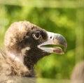 A Portrait Of Vulture