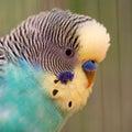 Portrait Of Wavy Parrot Close-...