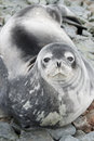 Portrait of Weddell seals on the rocks of the tide in the spring Royalty Free Stock Photos