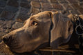 Portrait of  weimaraner dog head Royalty Free Stock Photo