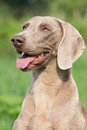 Portrait of weimaraner vorsterhund bitch on green background Royalty Free Stock Photo