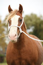 Portrait of welsh pony with white rope show halter in autumn Stock Photography