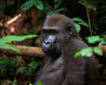 Portrait of Western Lowland Gorilla Royalty Free Stock Photos
