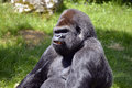 Portrait western lowland gorilla male Stock Photo