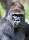 Portrait of a western lowland gorilla silverback Stock Photo