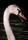 Portrait of wet large cygnet on dark water yearling swan shown in side view against with droplets beak at river yare norfolk Stock Images