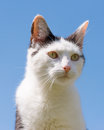 Portrait Of White And Black Cat On Blue Sky Royalty Free Stock Photo