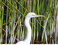 Portrait of a white egret profile image Royalty Free Stock Photo