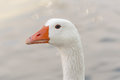 Portrait of a white goose. Royalty Free Stock Photo