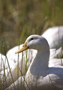 Portrait of a white goose close Stock Photo