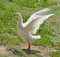 Portrait of white goose Royalty Free Stock Photo