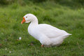 Portrait of a white goose Royalty Free Stock Photo
