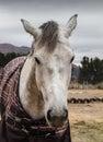 Portrait Of White Horse Face O...