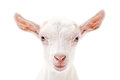 Portrait of a white little goat closeup Royalty Free Stock Photo