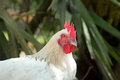 Portrait of white maran rooster Royalty Free Stock Photo