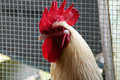 Portrait of white maran rooster in pen Royalty Free Stock Photo