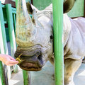 Portrait of white rhino Royalty Free Stock Photo