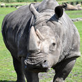 A portrait of a white rhinoceros Stock Photo