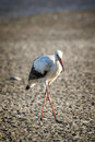 Portrait of a white stork Royalty Free Stock Photo