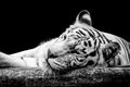 Portrait of a white tiger isolated on black Royalty Free Stock Photo