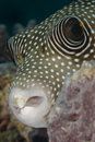 Portrait of a Whitespotted pufferfish. Royalty Free Stock Photos