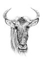 Portrait of widebeest drawn by hand in pencil