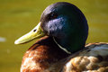 Portrait of the wild duck male close up Royalty Free Stock Photo