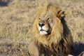 Portrait of wild free roaming african lion Royalty Free Stock Photo