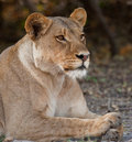 Portrait of a wild lion in southern Africa. Stock Photo