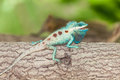 The portrait of wild lizard blue crested lizard on tree Royalty Free Stock Photos