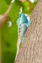 The portrait of wild lizard blue crested on tree Royalty Free Stock Photography