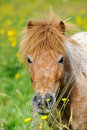 A portrait of a wild pony in a summer meadow Royalty Free Stock Photography