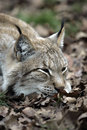 Portrait of wildcat Royalty Free Stock Photos
