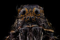 Portrait of a wolf spider Royalty Free Stock Photo