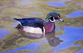 Portrait of a wood duck in pond Royalty Free Stock Image