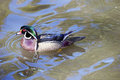 Portrait of a wood duck in pond Royalty Free Stock Photo