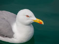 Portrait of yellow legged gull resting on green water Royalty Free Stock Photo