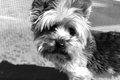 Portrait of a Yorkie Dog Royalty Free Stock Photo