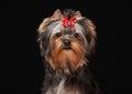 Portrait yorkie puppy on black background Royalty Free Stock Photo
