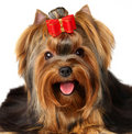 Portrait of the Yorkshire Terrier Stock Photos