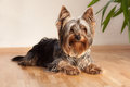 Portrait yorkshire terrier Royalty Free Stock Image