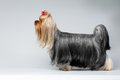Portrait of Yorkshire Terrier Dog on White Royalty Free Stock Photo