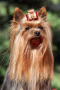 Portrait of yorkshire terrier in front of green background Stock Image