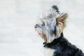Portrait of Yorkshirer terrier Stock Images