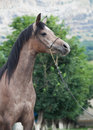 Portrait of young arabian mare Royalty Free Stock Photo