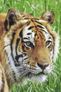 Portrait young bengal male tiger Royalty Free Stock Photo