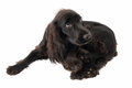 Portrait of young black cocker spaniel dog and a puppy persian cat Royalty Free Stock Photo