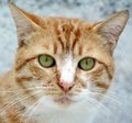 Portrait of young cat a beautiful red and white Royalty Free Stock Image