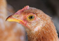 Portrait of a young chicken Royalty Free Stock Photo